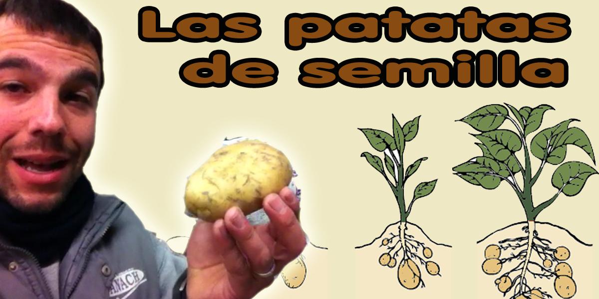 patatas-de-semilla